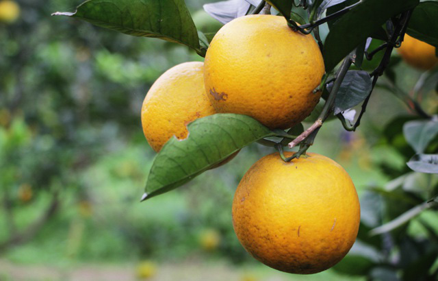 Mẹo bảo quản trái cây mâm ngũ quả tươi lâu gấp đôi mà không cần đến tủ lạnh - 6