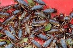 Đặc sản Tây Bắc: Mưa xuống săn dế mèn về xào nước măng chua