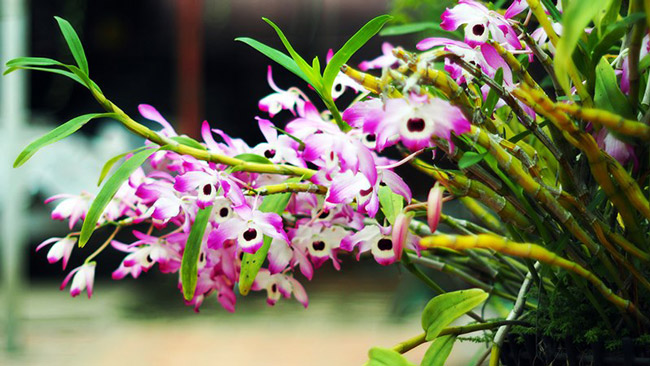 Cũng theo ông Bình, ông mê mẩn với loài hoa rừng này từ nhỏ. Khi lớn lên, đi bộ đội ông đóng quân ở Bắc Kạn nên có cơ hội để nhân niềm đam mê của mình lên.