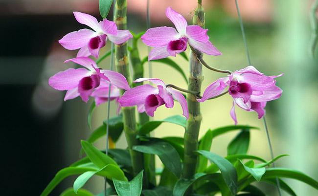 """""""Từ khi tách giống đến khi ra hoa nếu chăm sóc đúng kỹ thuật cũng phải mất khoảng 3 năm trời. Và hoa đẹp hay không còn phụ thuộc vào tay nghề của người trồng và cách chăm sóc"""" - ông Bình cho hay."""