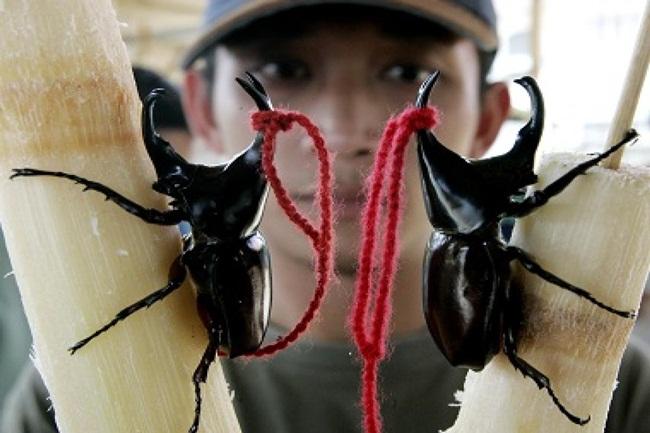 Những con bọ cánh cứng có thể sống lâu tới 5 năm.