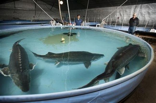 Điều đáng nói, đây không chỉ là nơi cung cấp nguồn trứng cá tầm cho thế giới mà nó còn là trang trại nuôi cá tầm duy nhất ở Mỹ được phép nhân giống cá tầm beluga.