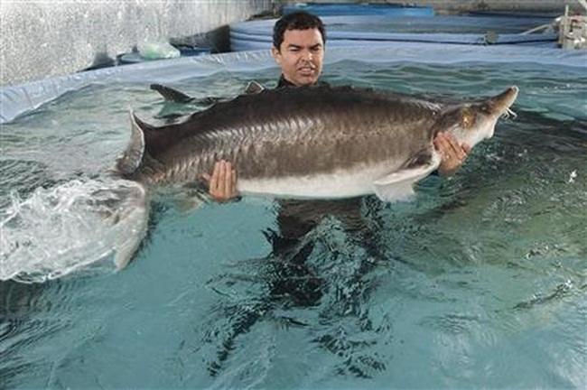 Bên trong trang trại có hơn 100 bể nuôi 5 loại cá tầm khác nhau trong đó có cá tầm beluga, trên diện tích hàng trăm m2.