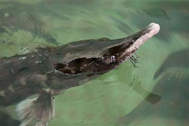 Cá tầm beluga tại trang trại của ông được cho ăn 3 lần một ngày, ở trong bể chứa nước cùng với cung cấp oxy ổn định cho chúng sống và phát triển.