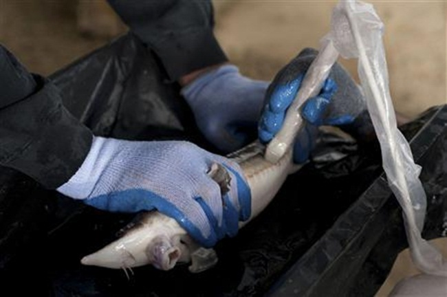 Cuối năm 2018, ông dự định thu hoạch trứng cá tầm beluga nhưng cơn bão Michael quét qua đã gây thiệt hại lớn và khiến nhiều cá tầm beluga bị chết nên thời gian thu hoạch sẽ kéo dài thêm 3 năm.