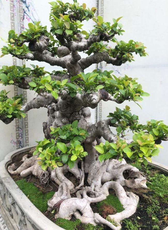 Cây cao khoảng 90 cm, hoành thân hơn 100cm, mâm rễ tỏa đều các hướng tạo ra sự vững chãi như một đại cổ mộc hùng vĩ ngoài thiên nhiên ngàn năm tuổi.