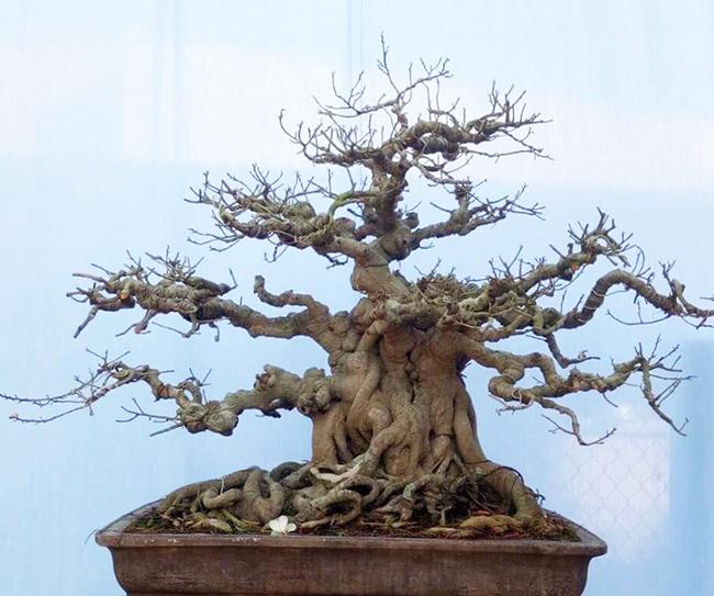 Ông Tuyền cho biết, thời điểm mới mua về, tay cành của cây rất dài.