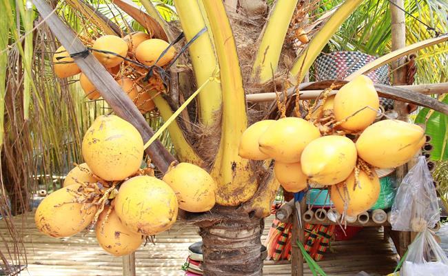 Độc đáo giống quả 2 màu ở Việt Nam cho nước ngọt lừ 1--copy--1597212033-480-width650height400