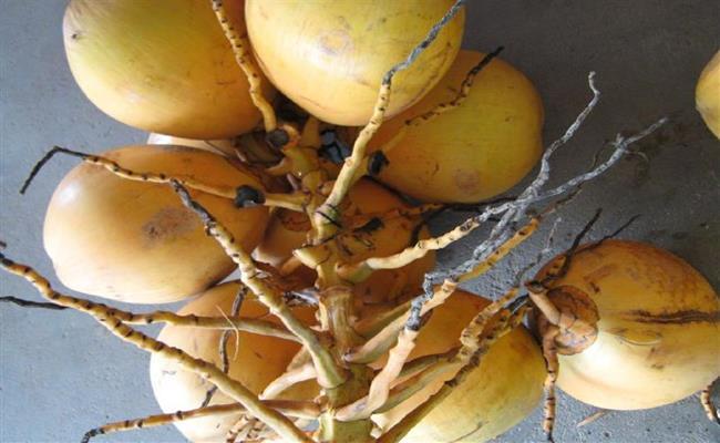 Độc đáo giống quả 2 màu ở Việt Nam cho nước ngọt lừ 11--copy--1597212033-772-width650height400