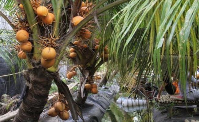 Độc đáo giống quả 2 màu ở Việt Nam cho nước ngọt lừ 12--copy--1597212033-577-width650height400