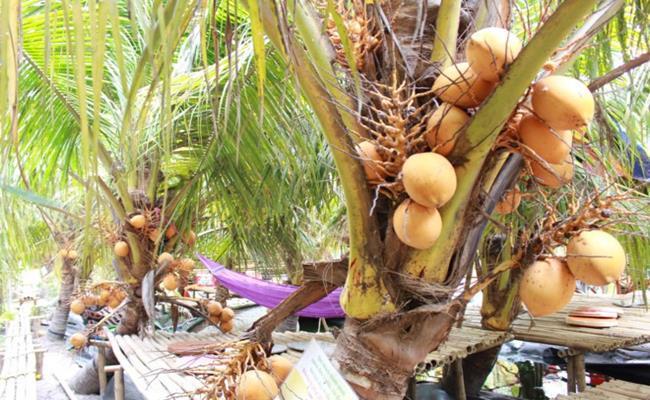 Độc đáo giống quả 2 màu ở Việt Nam cho nước ngọt lừ 14--copy--1597212033-252-width650height400