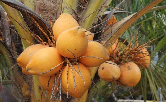 Độc đáo giống quả 2 màu ở Việt Nam cho nước ngọt lừ 3--copy--1597212033-340-width650height400