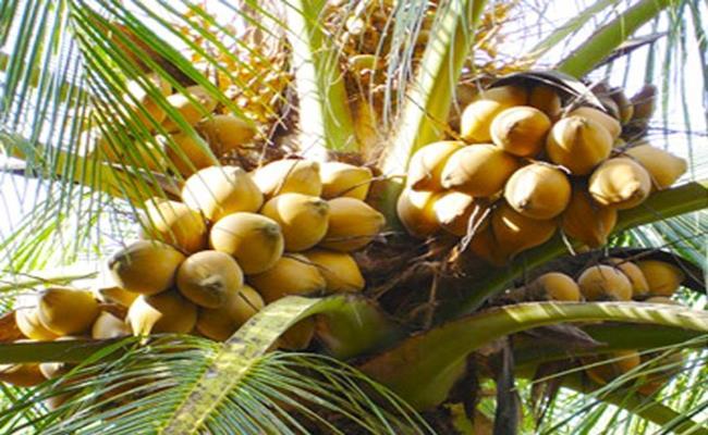 Độc đáo giống quả 2 màu ở Việt Nam cho nước ngọt lừ 9--copy--1597212033-488-width650height400