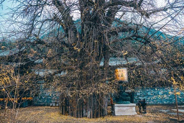 Ngôi chùa hàng nghìn năm tuổi bỗng dưng nổi tiếng chỉ vì loài cây này - 9