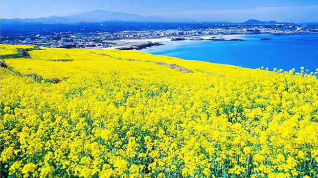 Hamdeok: Hamdeok là một ngôi làng nhỏ ven biển nằm cách sân bay Jeju 30 phút về phía đông. Những cánh đồng hoa cải dầu tuyệt đẹp bao phủ khắp nơi đây vào mùa hè.