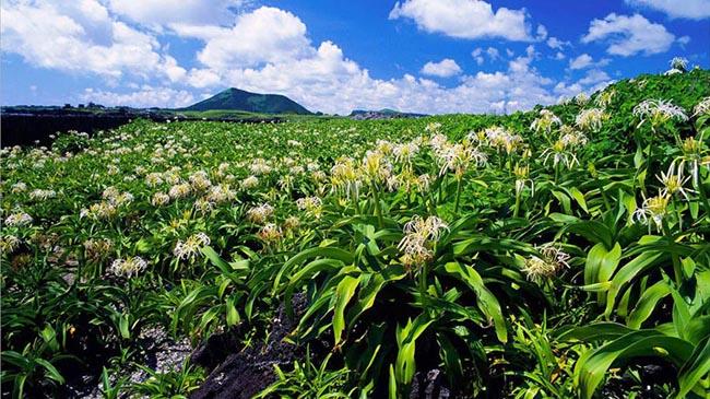 """Tokkiseom: Khi được bao phủ trong những bông hoa trắng muốt vào mùa hè, hòn đảo nhỏ ngoài khơi này trông giống như một con thỏ trắng từ xa. Do đó tên của nó có nghĩa là """"đảo thỏ."""""""