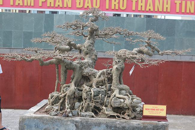 """Sở dĩ tác phẩm có tên """"Ngai vàng đất Việt"""" vì nhìn thế cây giống ngai vàng nên anh em, bạn bè đặt cho cái tên như vậy, chủ nhân tác phẩm cho biết."""