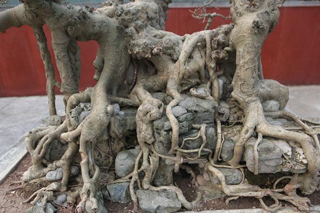 Cây được trồng (ký) trên đá, sau nhiều năm rễ bám chặt vào đá tạo thành khối vững chắc