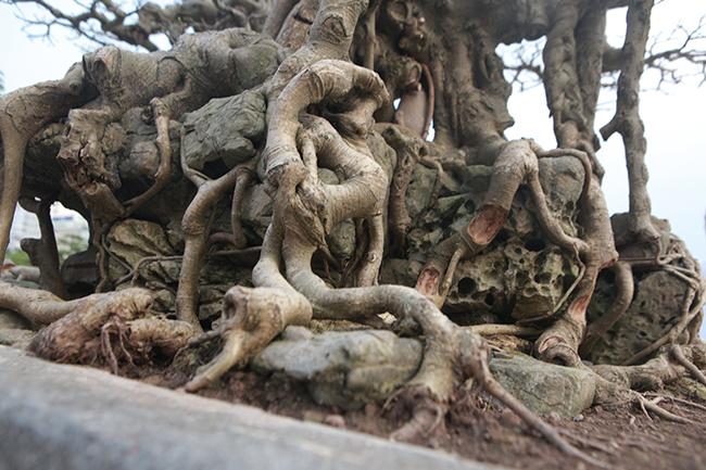 Chủ nhân của tác phẩm cho biết, phải vài năm nữa cây mới hoàn thiện.
