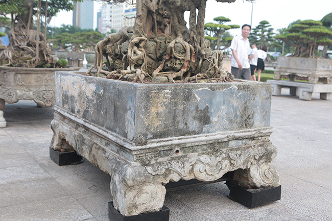 Cây được trồng trong một chậu đá cổ