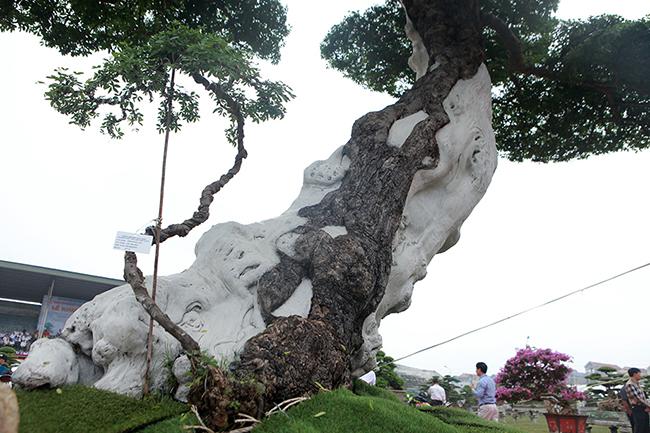 Theo anh Lộc, cây me keo có tuổi đời trên 100 năm, thời gian uốn tạo tác gần 20 năm. Đã có người trả 2,5 tỷ đồng nhưng anh Lộc chưa bán