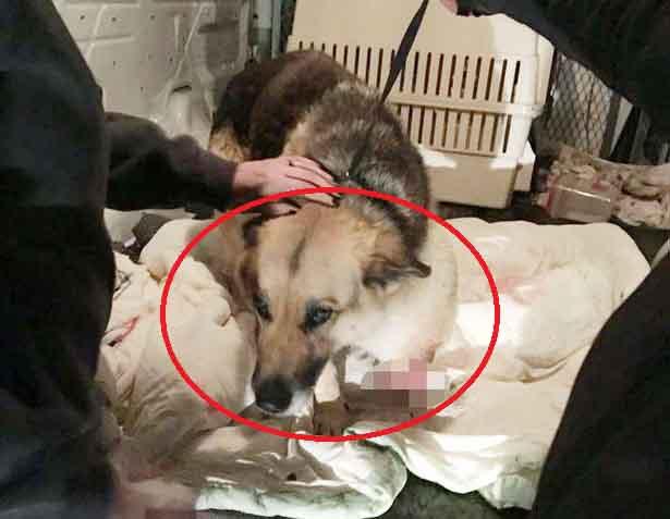 Cứu chó cụt chân bị bỏ đói lâu ngày, phát hiện điều đau xót trong bụng - 1