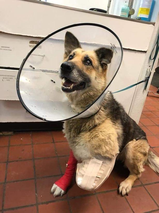 Cứu chó cụt chân bị bỏ đói lâu ngày, phát hiện điều đau xót trong bụng - 2