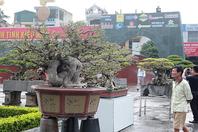 Tại triển lãm cây cảnh tỉnh Thanh Hóa mới đây, tác phẩm dâm bụt cổ thụđược du khách vàgiới chơi cây chú ý.