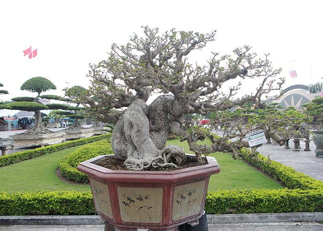 Anh Ngô Vĩnh Cường (TP. Hồ Chí Minh), chủ nhân của tác phẩm cho biết, cây có nguồn gốc từ Đài Loan, ở Việt Nam không có cây nào lớn như vậy.