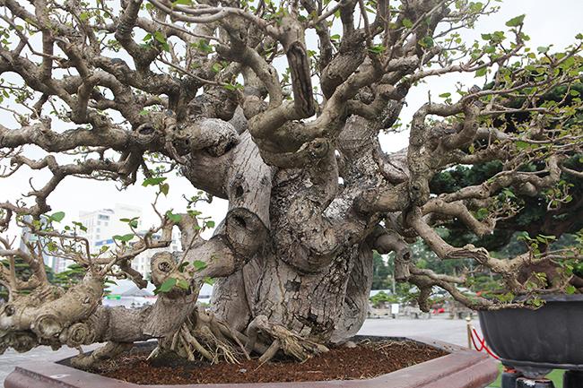 Theo chủ nhân của tác phẩm, cây có tuổi đời khoảng 40 năm, được nhập về Việt Nam cách đây 2 năm.
