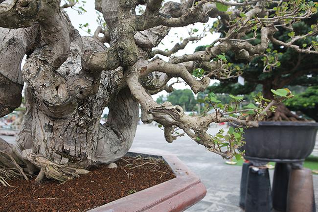 Anh Cường cho biết, các nghệ nhân Đài Loan chỉ làm phần tay, cành chứ thân hoàn toàn tự nhiên. Nhìn dáng cây như một con rồng.