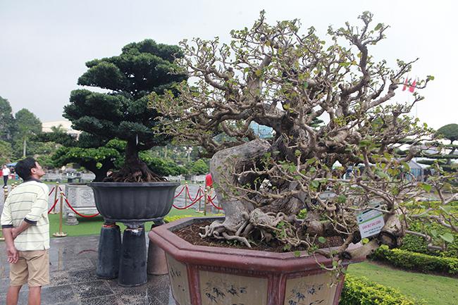 Cây cao khoảng hơn 1m, bệ rễ gốc lớn, kỳ quái.