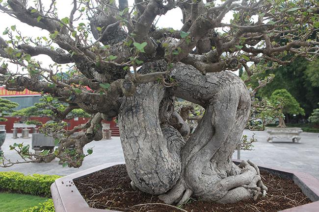 Còn cây này có giá trịkhoảng hơn 300 triệu đồng, anh Cường cho biết.