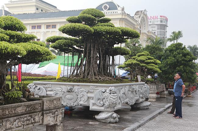 """Trong rất nhiều """"siêu cây"""" ở vùng đất Nam Định, bộ 3 cây sanh cổcủa anh Mạnh Trường (Lộc An, Nam Định) được giới chơi cây muốn sở hữu bởi những cây này hội tụ đủ 4 yếu tố: cổ - kỳ - mỹ - văn."""