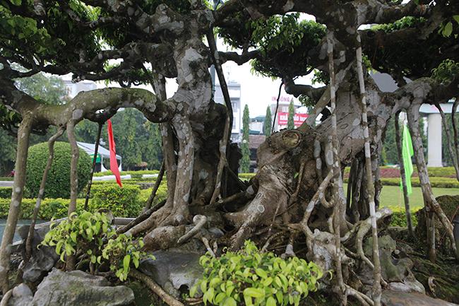 Thân rất dẻo, dễ uốn, dễ bó (khi còn nhỏ), dễ ghép, vỏmàu xám trắng, khi già vỏsần sùi rất đẹp, quý phái. Rễ không nhiều, song khi rễ phát triển to trở thành thân thì rất đẹp.