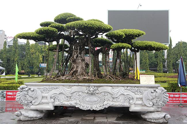 """Tác phẩm """"đắc thụ tụ tài"""" lớn nhất, cây cao khoảng 4,5m, được đặt trong chậu dài 5m, rộng 3m. Cây cóý nghĩa mang lại tài lộc cho gia chủ."""