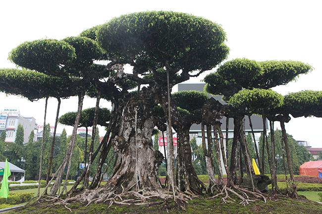 Toàn bộ thân và rễ đã mốc trắng chứng tỏ cây nhiều năm tuổi.