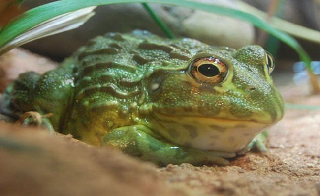 Loại ếch bé tẹo này có tên là bullfrog, dài khoảng 5-6cm. Chúng có màu sắc đẹp, lành tính và không có độc.