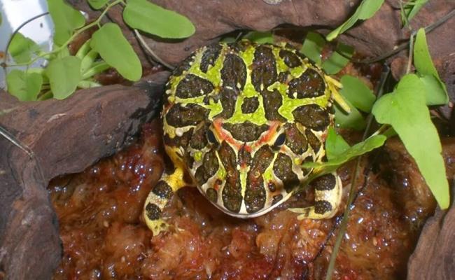 Ếch pacman có giá dao động từ 200.000-500.000 đồng/con tuỳ màu. Bullfrog sẽ có giá cao hơn, dao động từ 500.000-1,5 triệu đồng/con tuỳ giới tính và hình dạng.