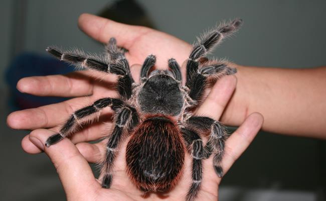 """Khoảng vài năm trở lại đây, ngoài các loại trăn, rắn cảnh, nhiều dân chơi sinh vật cảnh còn rộ lên trào lưu nuôi nhện """"khổng lồ"""" hay còn gọi là nhện Tarantula làm thú cưng."""