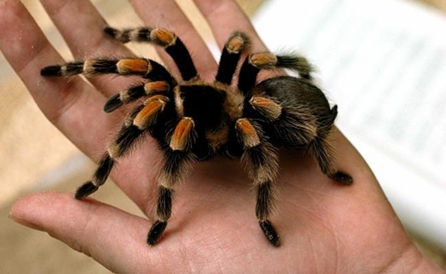 Hiện nay, trên thị trường, một con nhện cảnh có giá từ 350 nghìn đồng – 600 nghìn đồng/con, tùy chủng loại.