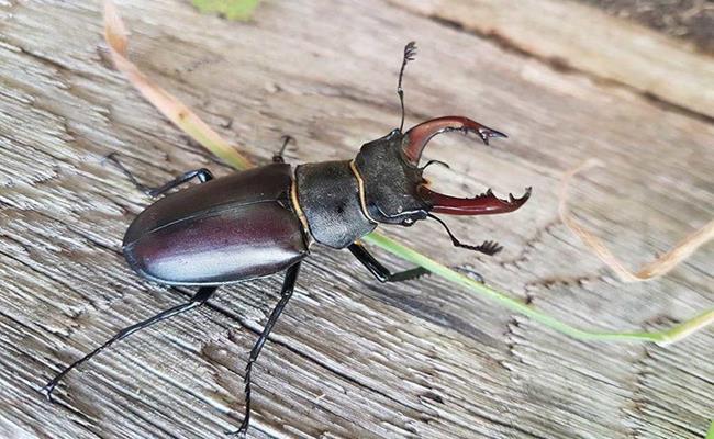 Kích thước trung bình của loài bọ cánh cứng này là khoảng 5-7 cm chiều dài, nằm lọt thỏm trong lòng bàn tay con người.