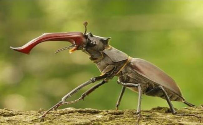 Trước kia từng có một con bọ cánh cứng Stag Beetle được bán với mức giá lên tới 90.000USD (hơn 2 tỷ đồng).