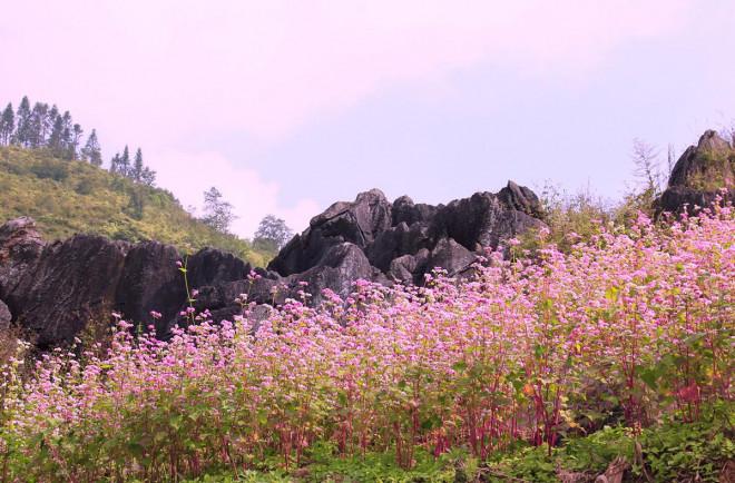 Hoa tam giác mạch Hà Giang nở rộ khiến du khách mê mải quên lối về - 6