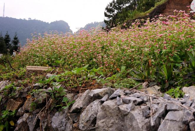 Hoa tam giác mạch Hà Giang nở rộ khiến du khách mê mải quên lối về - 7