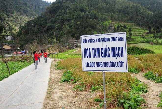 Hoa tam giác mạch Hà Giang nở rộ khiến du khách mê mải quên lối về - 9
