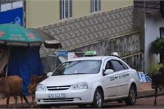 """Vụ taxi Hòa Bình Xanh """"núp bóng"""" xe hợp đồng: Thu hồi toàn bộ phù hiệu?"""