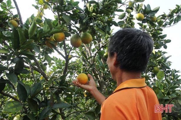 Nông dân Hà Tĩnh xót xa nhìn hàng trăm ha cam rụng quả vì mưa lũ