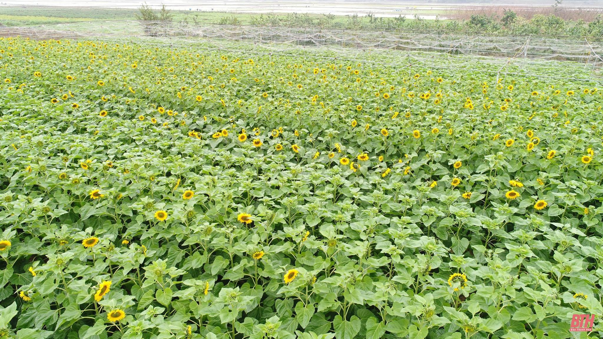 Mê mẩn ngắm nông trại cừu và hoa tại Thanh Hóa