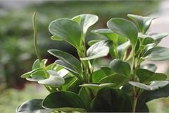Ý nghĩa phong thủy và cách chăm sóc cây trường sinh